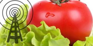 Lettuce-Tomato-1024x575-300x150