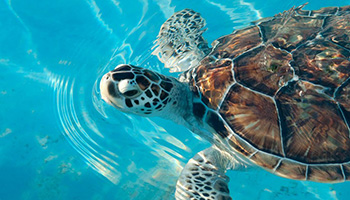 Tortuga Granja ~ Turtle Farm: A government and privately funded sea turtle sanctuary located on Isla Mujeres at Sac Bajo. The aquarium houses a variety of sea life from tropical fish to seahorses and manta rays.